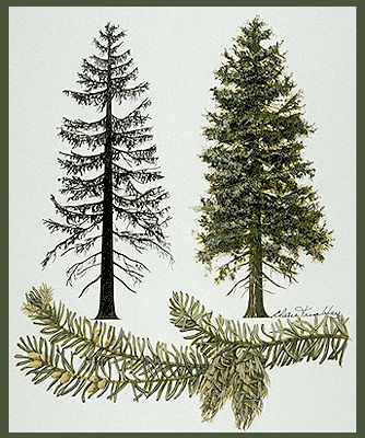 Douglas Fir Tree.