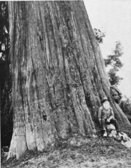 Willapa Hills Cedar tree, photo unknown, ca. early 1900's