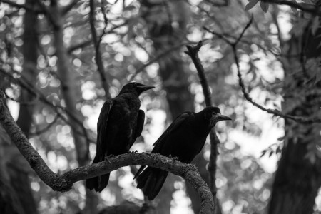 Crow teachers. Public domain photo